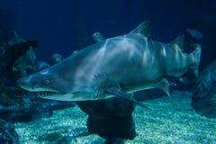 tubarões Imagem de Stock Royalty Free