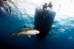 Tubarões abaixo do barco do mergulho imagem de stock
