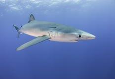 Tubarões azuis Fotografia de Stock