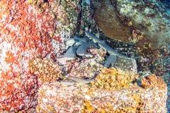 Tubarões brancos do recife da ponta Foto de Stock Royalty Free