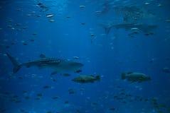 Tubarões de baleia Imagem de Stock