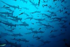 Tubarões de Hammerhead Imagem de Stock