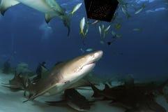 Tubarões de limão Fotografia de Stock