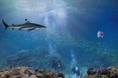 Tubarões de limão e mergulhador de mergulhador Fotografia de Stock Royalty Free