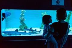 Tubarões de observação Foto de Stock