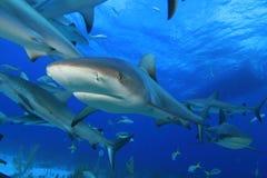 Tubarões do Cararibe do recife Fotografia de Stock