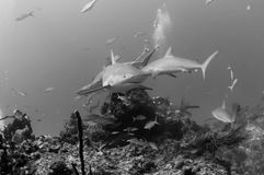 Tubarões do Cararibe do recife Fotos de Stock