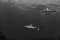 Tubarões do Cararibe do recife Fotografia de Stock Royalty Free
