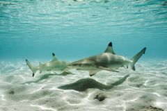 Tubarões do recife de Blacktip na água pouco profunda foto de stock royalty free
