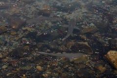 Tubarões do recife do bebê Imagens de Stock
