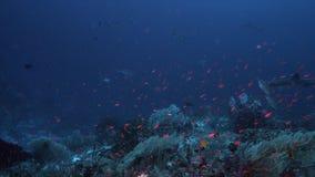 Tubarões do recife na borda de um recife de corais 4k video estoque