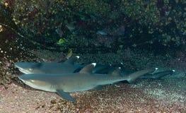 Tubarões em África do Sul Fotografia de Stock