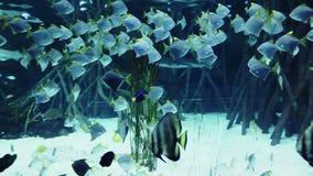 Tubarões entre outros peixes que nadam debaixo d'água video estoque