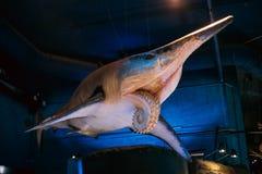 Tubarões modelo de Of Prehistoric Extinct em Oceanarium fotografia de stock royalty free
