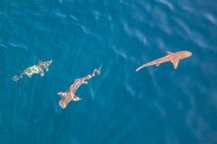 Tubarões na água pouco profunda Foto de Stock