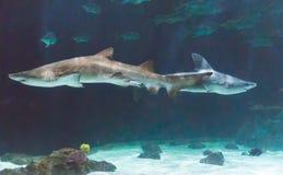 Tubarões no exibit em um jardim zoológico Imagens de Stock Royalty Free