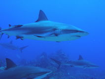 Tubarões que nadam pelo recife imagem de stock