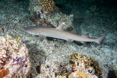 Tubarão branco da ponta no mergulho da noite Imagem de Stock Royalty Free