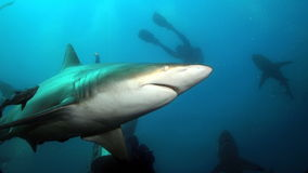 Tubarão cinzento no oceano Imagens de Stock Royalty Free