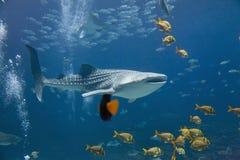 Tubarão de baleia Fotografia de Stock
