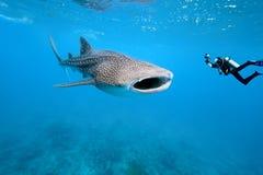 Tubarão de baleia e fotógrafo subaquático Imagens de Stock Royalty Free