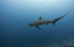 Tubarão de debulhadora grande Imagens de Stock