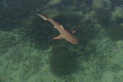 Tubarão do bebê no mar Imagens de Stock