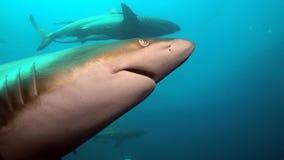 Tubarão escuro irritado Imagem de Stock Royalty Free