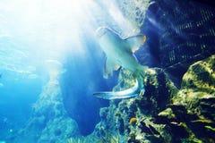 Tubarão subaquático Imagens de Stock