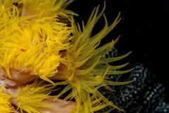 Tubastrea jaune lumineux Image stock