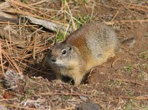 Tubby Gopher. This pudgy Belding's Ground Squirrel (Spermophilus beldingi) must have found an excellent food source.  Belding's Ground Squirrels (among others) Stock Photos