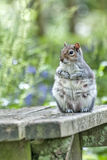 Tubby Squirrel. A tame squirrel awaits the next batch of children to feed him at Tehidy Woods park in Cornwall. UK Stock Images