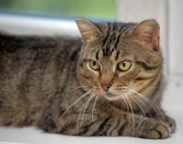 Tubby tabby cat. Tabby cat with yellow eyes Stock Images