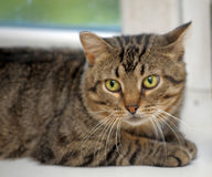 Tubby tabby cat. Tabby cat with yellow eyes Royalty Free Stock Images
