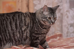 Tubby tabby cat. Tabby cat with yellow eyes Stock Image