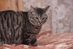 Tubby tabby cat. Tabby cat with yellow eyes Royalty Free Stock Photos