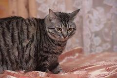 Tubby tabby cat Royalty Free Stock Photos