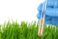 Tube à essai de fixation de scientifique avec des graines de blé photographie stock libre de droits