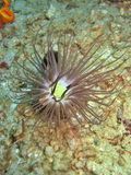 Tube Anemone. Unique and amazing creature. Often mistaken as a plant royalty free stock photography