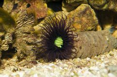Tube Anemone in Aquarium Royalty Free Stock Photo