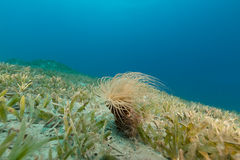 Tube anemone in the Red Sea. Stock Images
