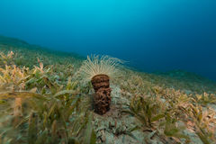 Tube anemone in the Red Sea. Stock Photos