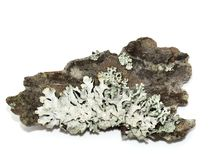 Tube lichen Stock Images