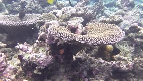 A tube-Pinzettfisch and Indian Blue Surgeonfish fish. Swims in a coral reef stock video