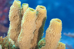 Tube Sponge Stock Images