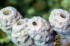 ,Tube Sponge,Callyspongia vaginalis Stock Photo