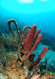 Tube sponges in coral reef Royalty Free Stock Images