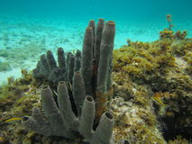 Tube Sponges. Marine tube sponges, long spine sea urchin and reef fish along a coral reef in the Caribbean Sea isle of youth cuba Stock Photos