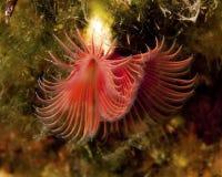 Tube-Ver de terre rouge sous-marin Images libres de droits