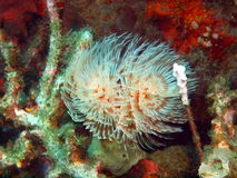Tube worm Royalty Free Stock Photography